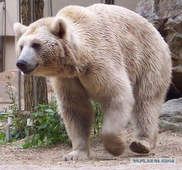 медведь на флаге