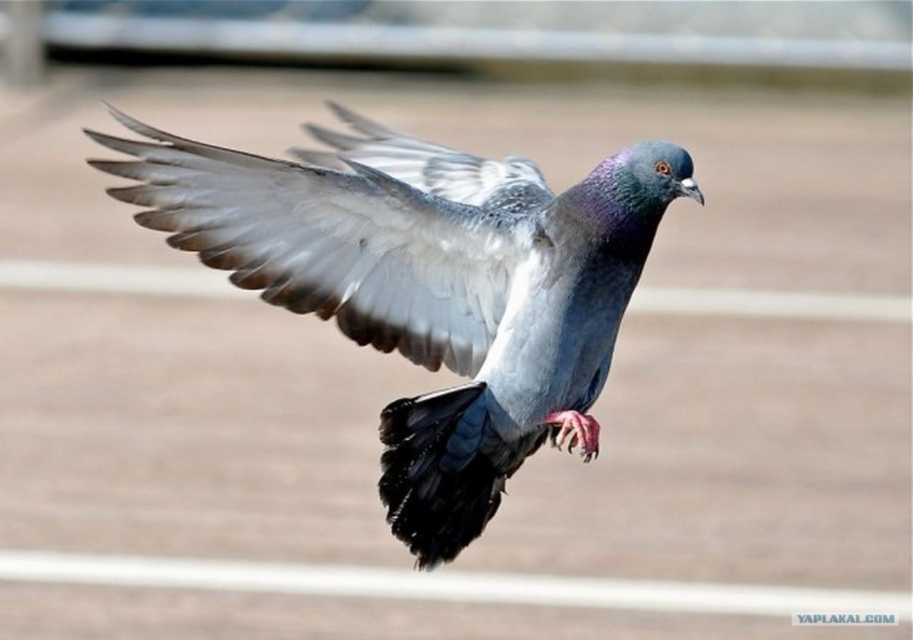 Почему голуби не сидят на деревьях википедия
