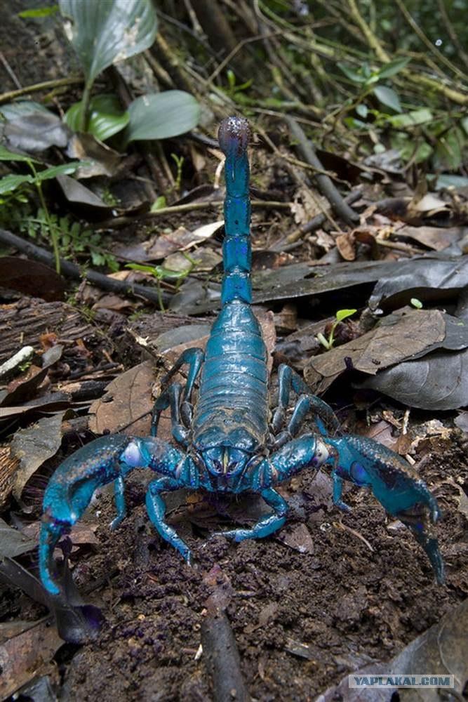 Фото самый большой скорпион