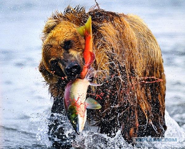 хочу верблюда прикольного. рыба просто большая, утянула медведя с рыбкой.