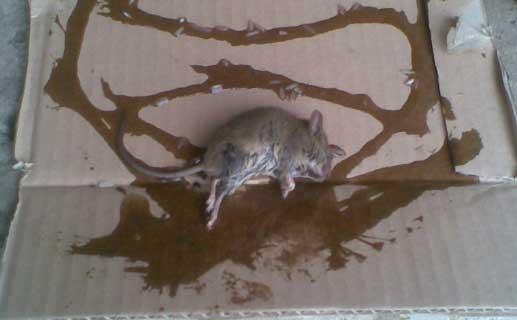 крыса ловить на клей