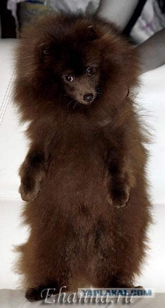 Купи домашнего медведя!