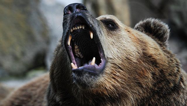 Медведь украл у охотников два ружья и скрылся