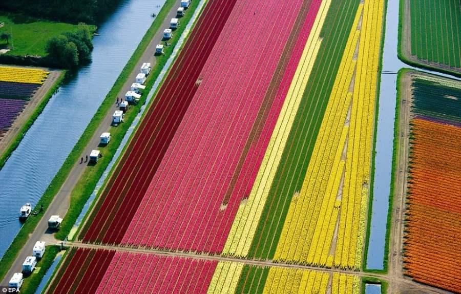 Тюльпанные поля - Голландия невероятных цветов