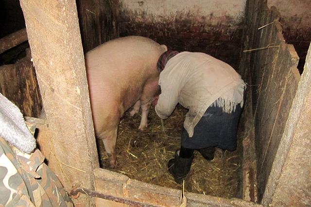 Как сделать забой свиньи