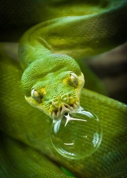 Змеиный ремешок