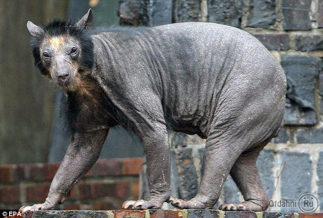 Лысый медведь