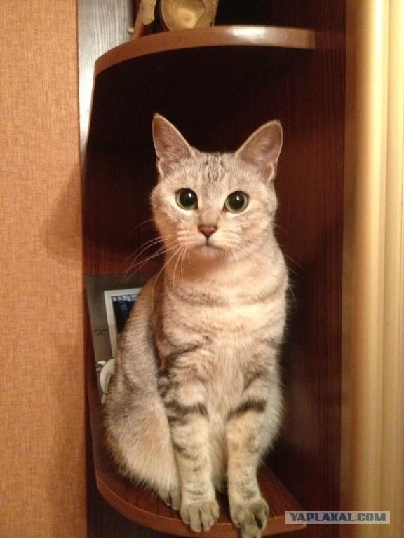 Продам котят КУРИЛЬСКИЙ БОБТЕЙЛ