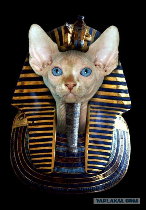 Немного информации. источник.  48 фото.  Лысые кошки справедливо...