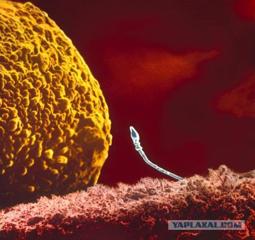 время жизни сперматозоида на воздухе