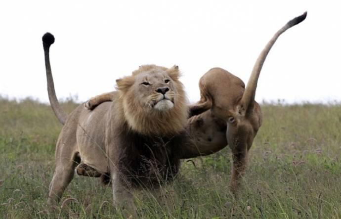 Вагина слона фото фото 670-347