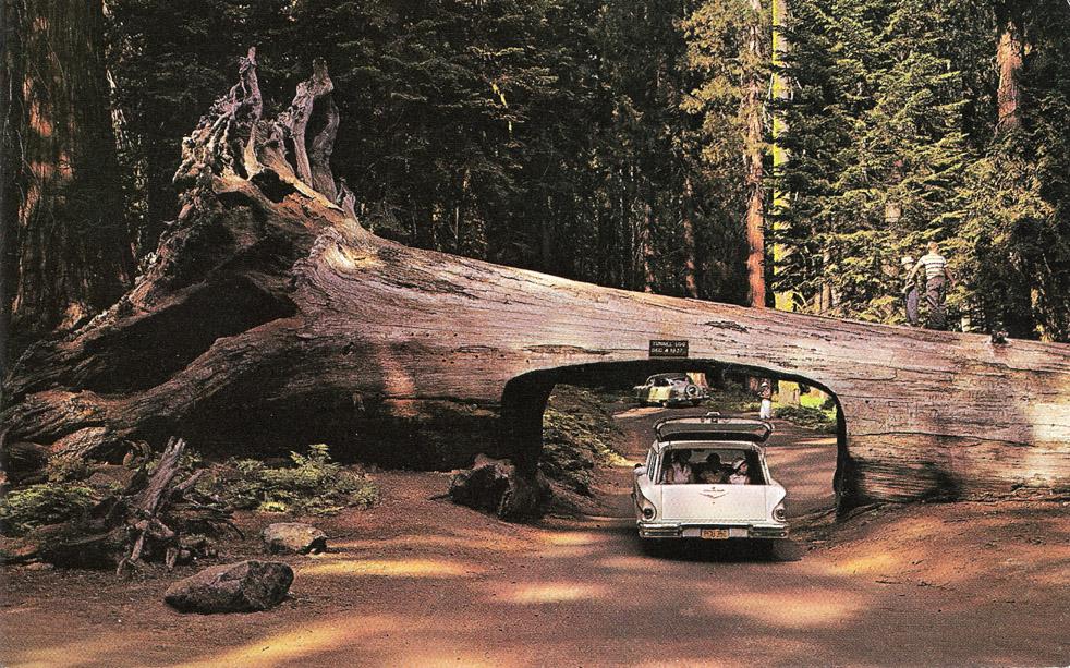 Drive Car Through Tree Yosemite