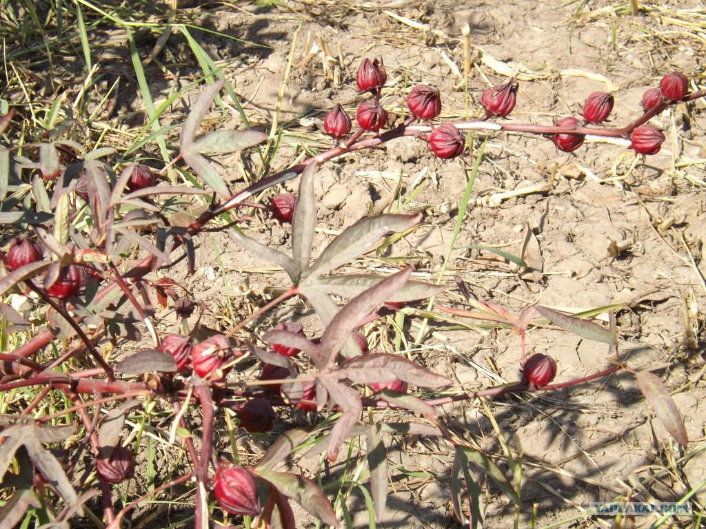 Каркаде растение выращивание 7