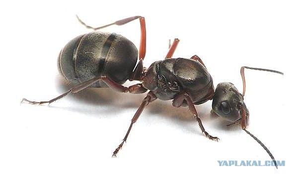 Serviformica cunicularia (прыткий степной муравей)