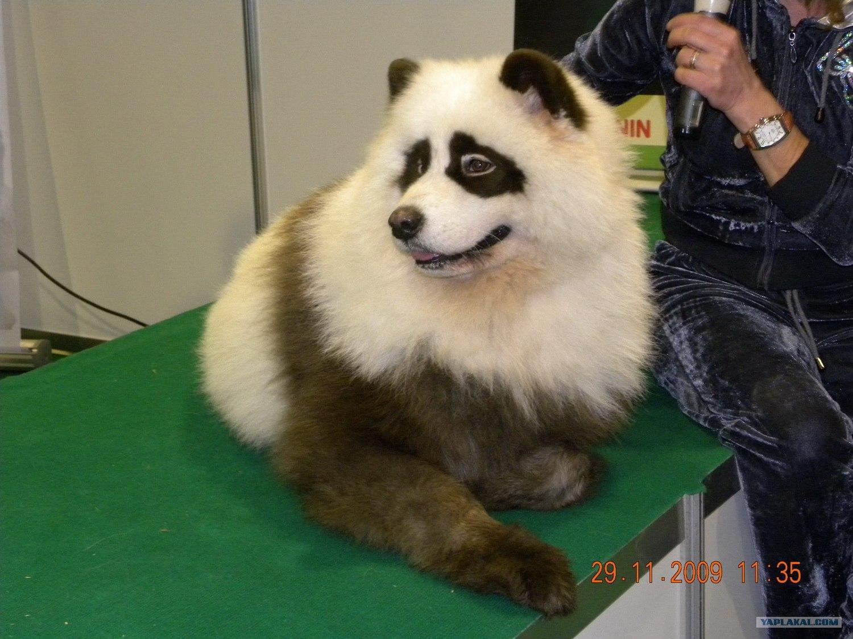 Енотовидная собака картинки 8