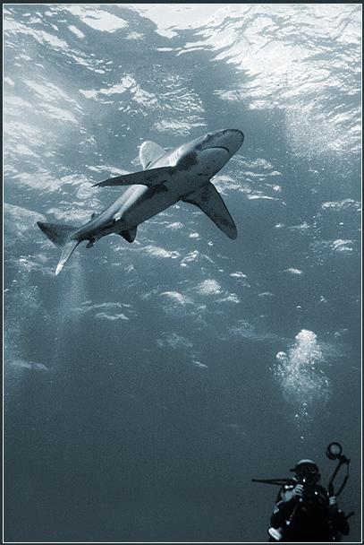 принадлежит к числу настоящих океанических рыб и почти никогда не подходит к берегам.