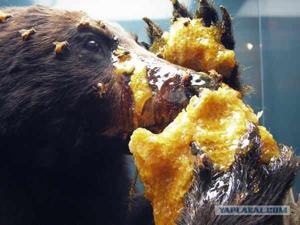ее ловят на мед и желуди сканворд
