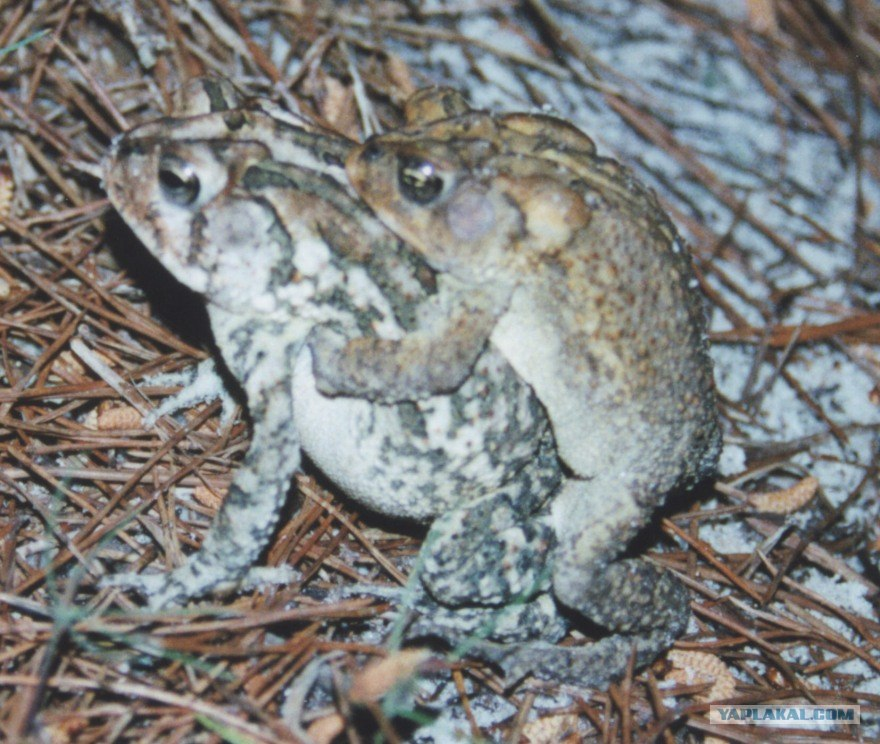 Секс жаба