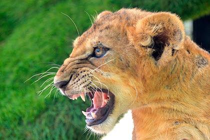 Цыгане в Москве пригрозили скормить львице нанятого на праздник звукорежиссера