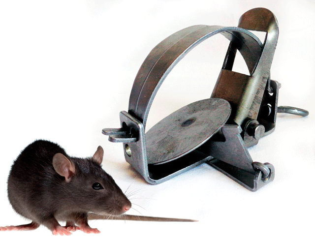 какая приманка лучше для крысы