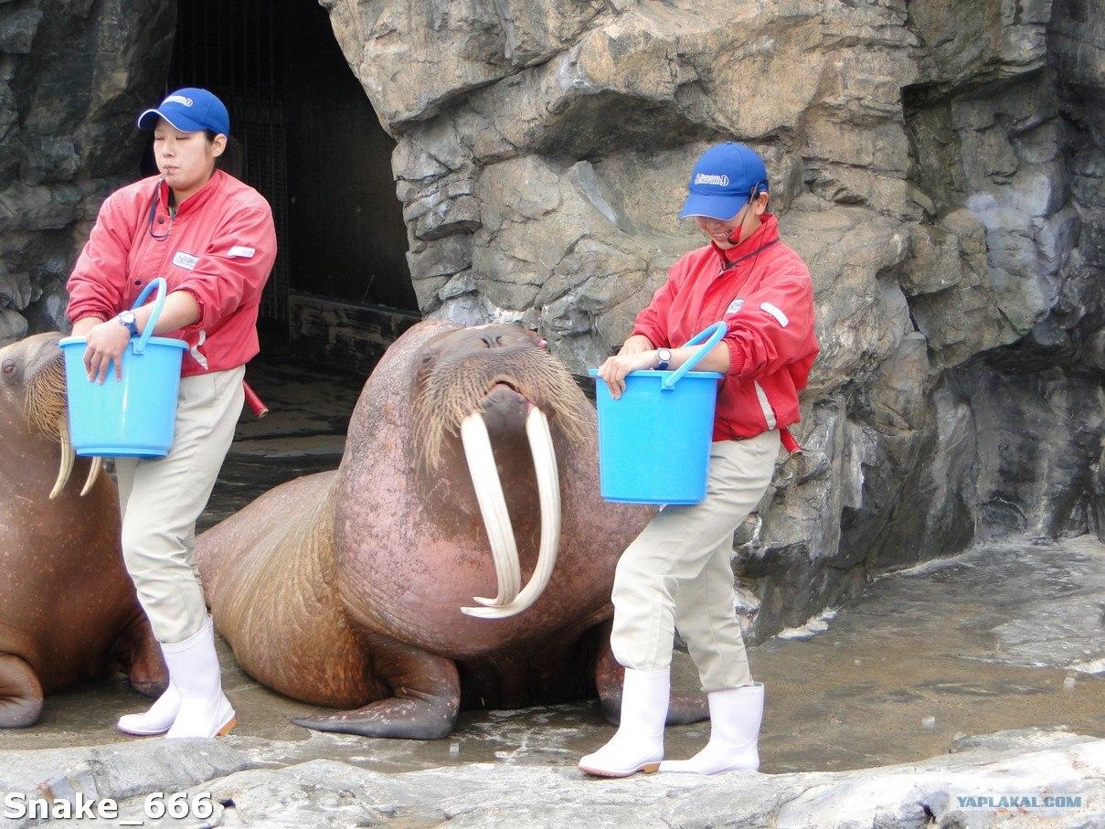 Член моржа фото 4 фотография