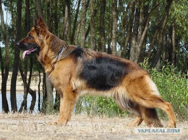 Длинношерстная немецкая овчарка - красота и сила!