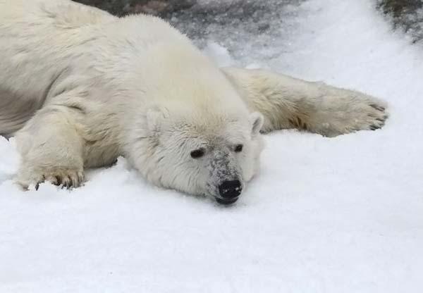 Как развлекают белых медведей в Сан-Франциско?