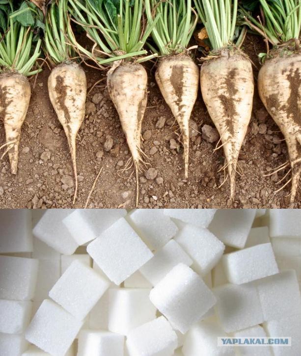 Как сделать сахар из свёклы