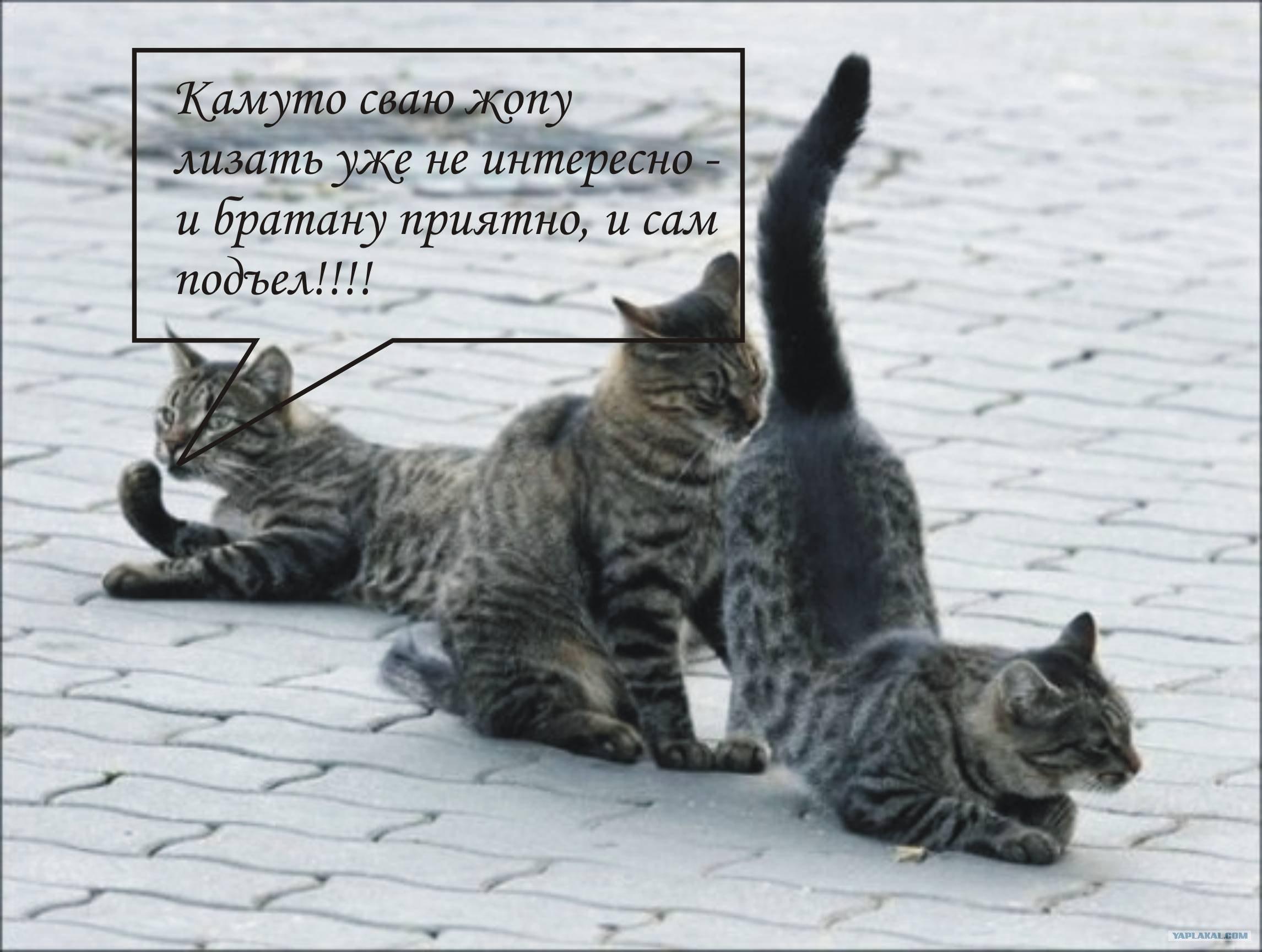 Кот лижет под хвостом 13 фотография