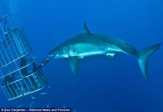 Именно об этом просил итальянский фотограф экстремал огромную акулу.