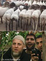 Овца на КАДе