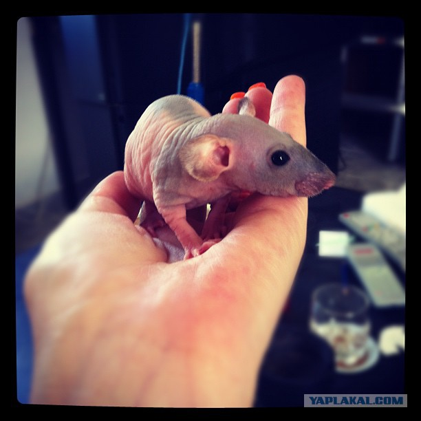 How to Care for a Hairless Rat  Cuteness
