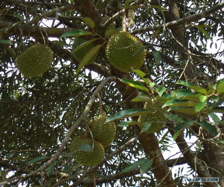 плод дуриана фото