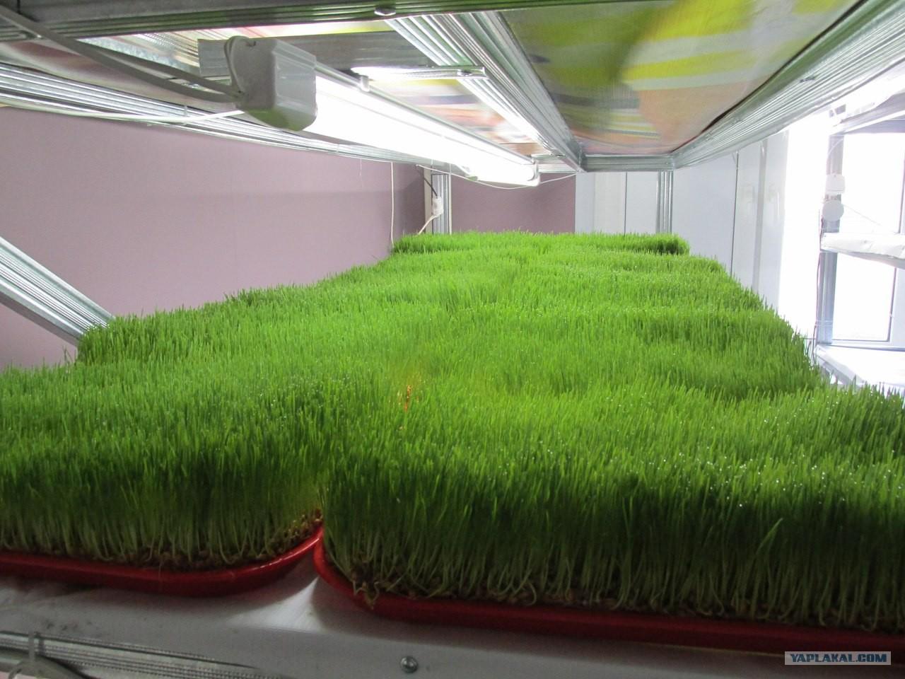 Прибыльный бизнес: выращивание зелени на продажу 48
