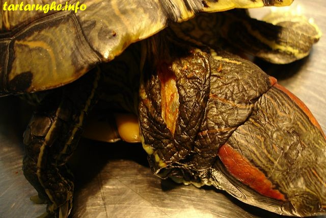 ожирение у черепах красноухих фото