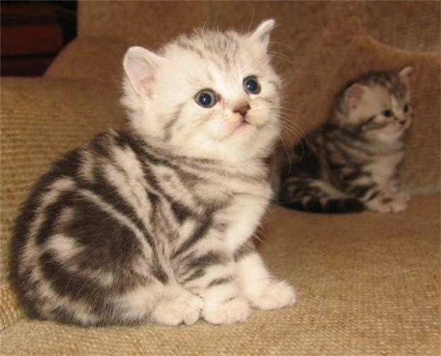 британские котята в дар в самаре.