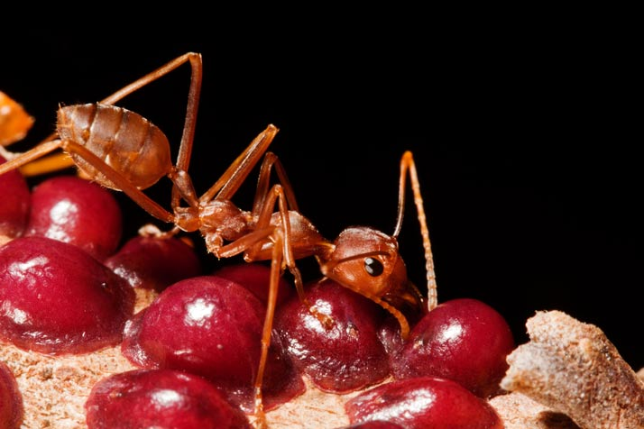Удивительные муравьи-портные