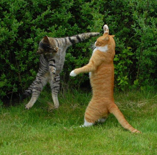Коты-каратисты - FotoMir.info - Бесплатный фотохостинг.