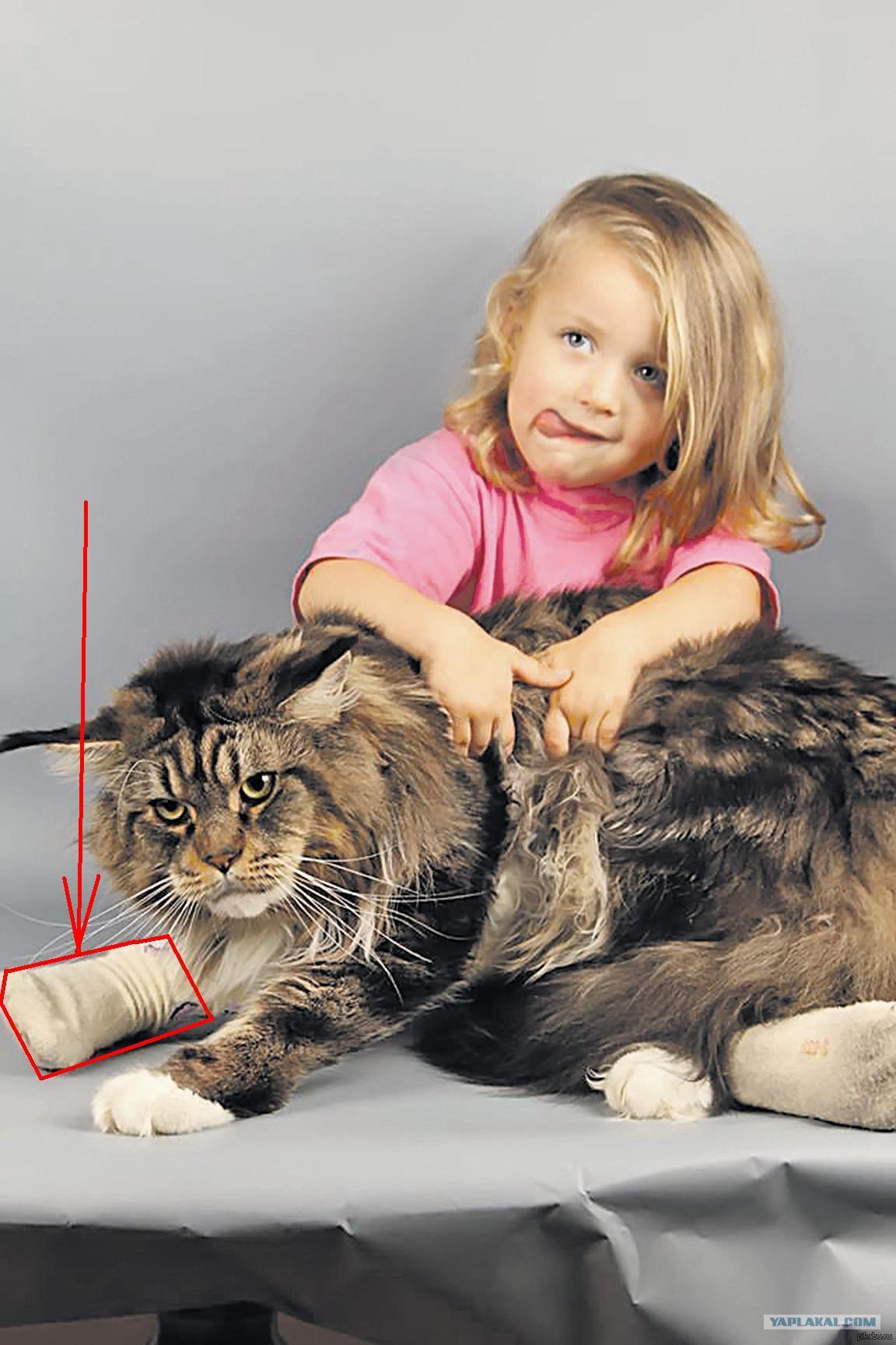 Кот майкун самый большой