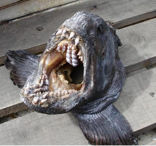 Зубатка дальневосточная (сорри, рыбу уже скушали...Мясо очень...