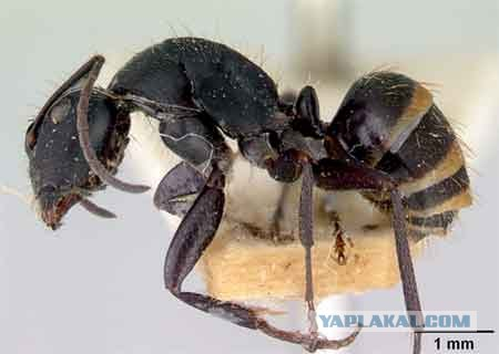 Когда у муравьев не хватает пищи, они идут к медоносам и начинают бить.