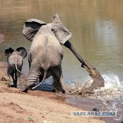 видео как ловят слонов