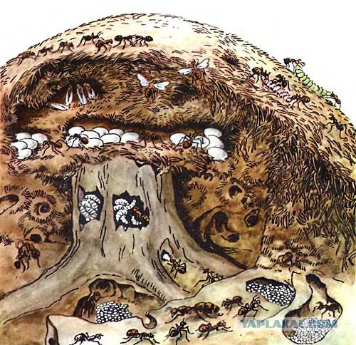 Как устроен муравейник