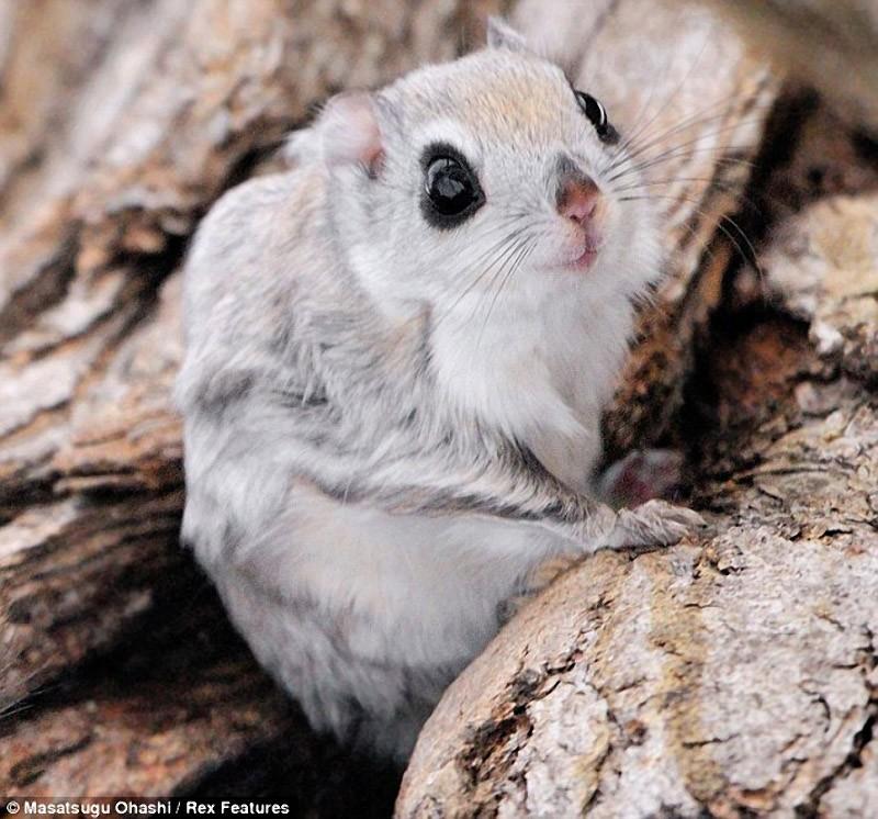 Сибирская белка