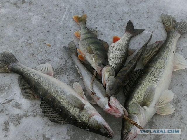 корюшка ловля финский залив отчет