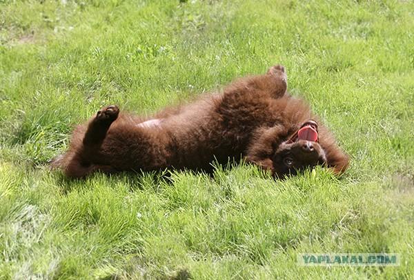 продам домашнего медведя-Алёха