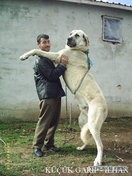 Осторожно злая собака в период