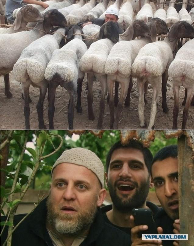 Ебут овец 0 фотография