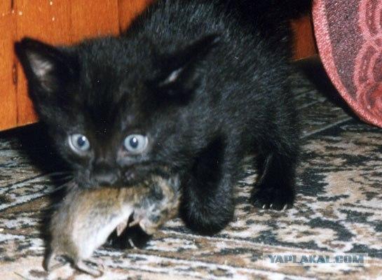 сонник кошка ловить крысу