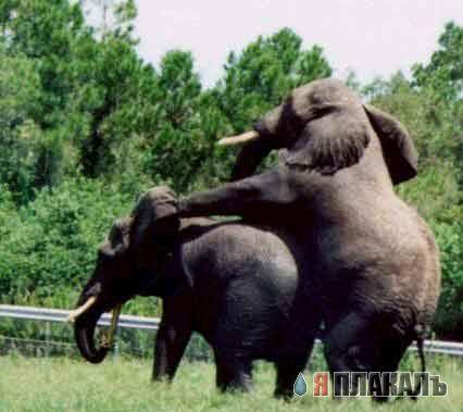 стояк у слона фото бланк